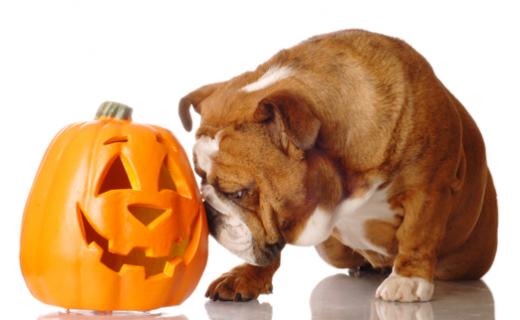 Bulldog and Pumpkins